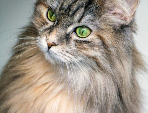 Ny lovgivning vedrørende umærkede katte